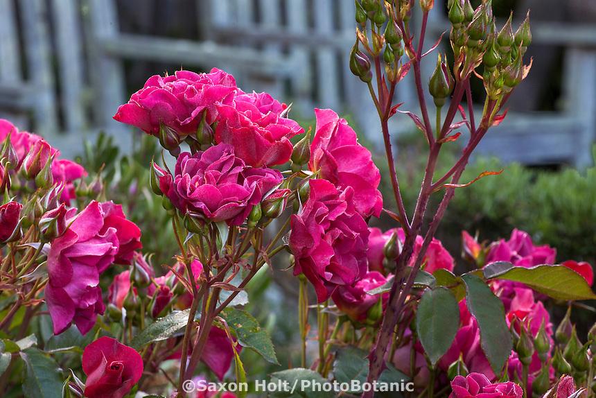 Roses in Sally Robertson's California cottage garden