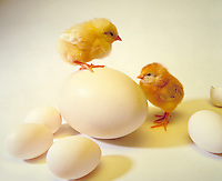 Think Big. Chicks and big egg. birds, animals, studio.