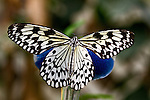 Paper Kite, also called Rice Paper, Paper White or Large Tree Nymph, is outlined by  a multi-brown and green background and the blue of the nectar-fllled sponge from which it is sipping.