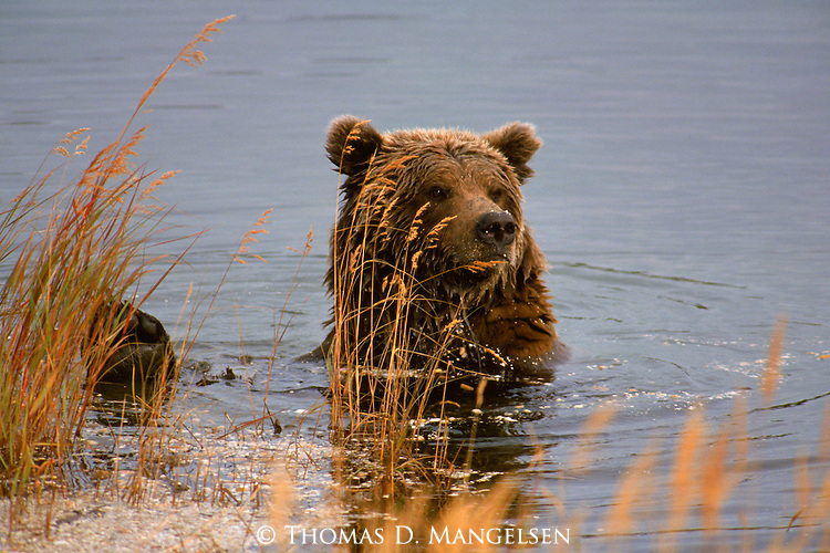 An Alaskan brown bear sits in shallow water in Katmai National Park as it watches for more fish.
