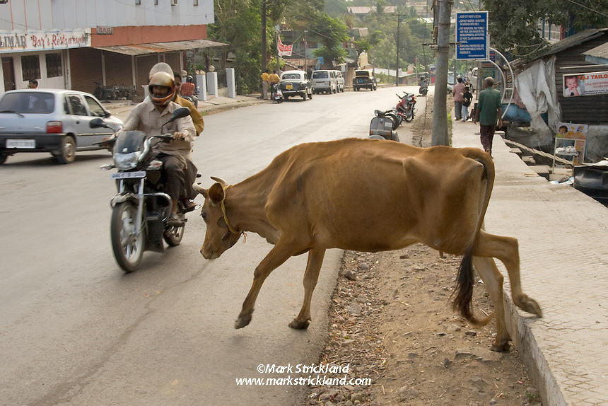 Road hazards in Port Blair are not limited to other vehicles. As in the rest of India, cattle are considered sacred, and roam freely in the streets. Port Blair, Andaman Islands, India
