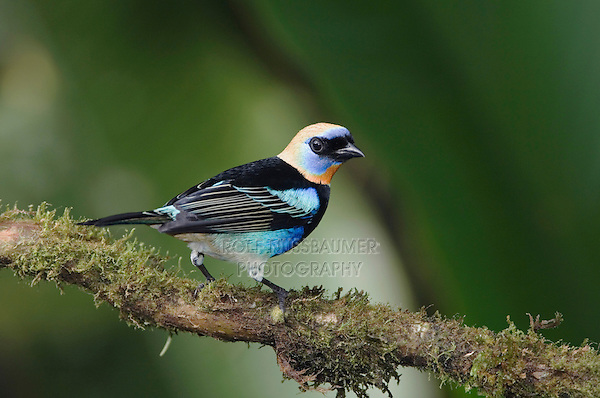 Golden-hooded Tanager, Tangara larvata, adult perched, Central Valley, Costa Rica, Central America