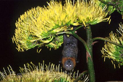 Grey-headed Flying Fox feeding in Century Plant (Agave americana) in a suburban garden. Sydney, Australia.