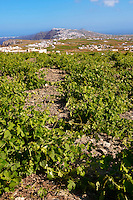 Low growing vines of Santorini, Greece