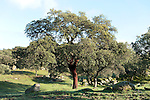 Cork Oak Tree, Quercus suber, Sierra de Andujar Natural Park, Sierra Morena, Andalucia, Spain, primary source of cork for wine bottle stoppers and other uses, such as cork flooring. It is native to southwest Europe and northwest Africa.