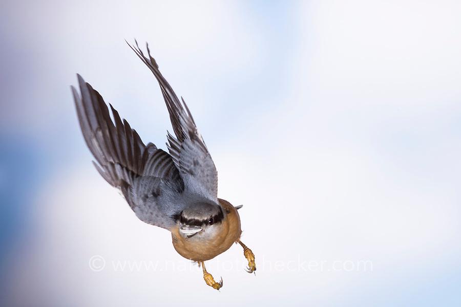 Kleiber, Spechtmeise, im Flug, Flugbild, fliegend, mit Sonnenblumenkern im Schnabel, Sitta europaea, Nuthatch, Eurasian nuthatch, wood nuthatch, flight, flying, Sittelle torchepot