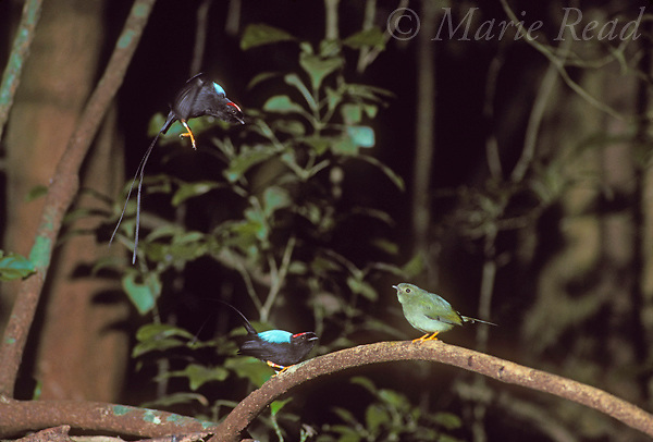 Long-tailed Manakins (Chiroxiphia linearis): 2 males (left) and female (right) during cooperative courtship display, Monteverde, Costa Rica.<br /> Slide # B103-163