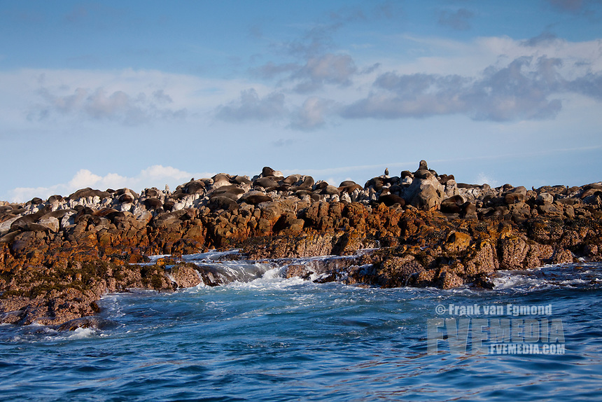 Cape Fur seal colony, Geyser Rock, South Africa.