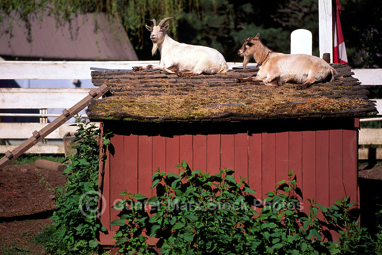 Adult Domestic Goats (Capra hircus) resting on Roof of Stable, North Pender Island, Southern Gulf Islands, BC, British Columbia, Canada