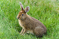 Eastern cottontail (Sylvilagus floridanus). One of the most common rabbit species in North America. Fundy National Park, New Brunswick, Canada.