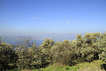 Golan Heights, olive grove overlooking the Sea of Galilee at Kfar Haruv