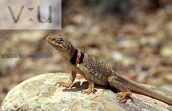 Desert Collared Lizard ,Crotaphytus bicinctores, female,  Utah, USA