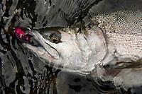 Pink Salmon, Alaska.