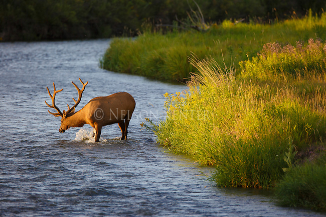 bull elk in velvet wading in a stream in western montana