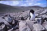Rockhopper penguins, New Island, Falklands, shags