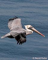 0307-0826  Flying Brown Pelican, Pelecanus occidentalis  © David Kuhn/Dwight Kuhn Photography.