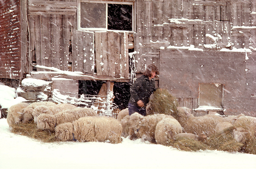 Sheep farmer in Underhill Vermont.