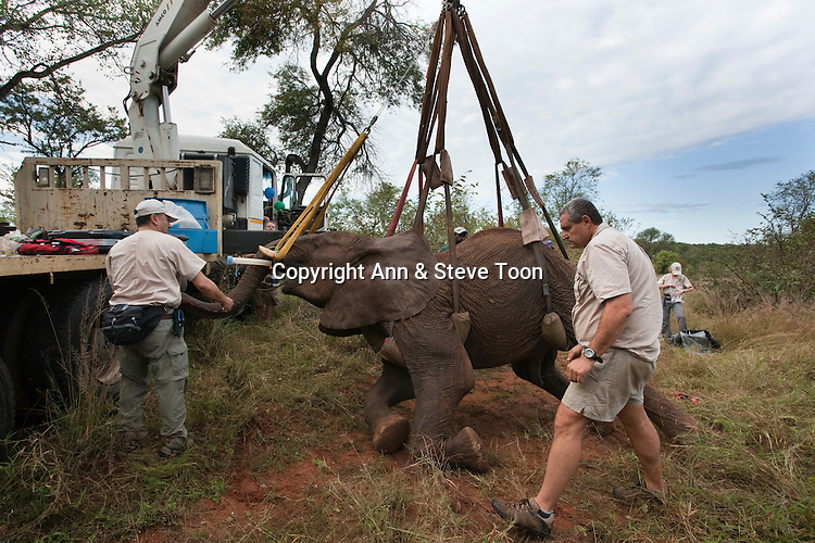 Wild elephant bull, Loxodonta africana, hoisted into position by crane for vasectomy operation in bush by the Elephant Population Management Program team with Dr Jeff Zuba, senior associate veterinarian with the San Diego Zoological Society and Douw Groebler, game capture expert. Private game reserve in Limpopo, South Africa