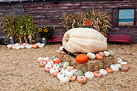 One of the giant pumpkins at Pumpkin Depot, surrounded by a multicolored assortment.