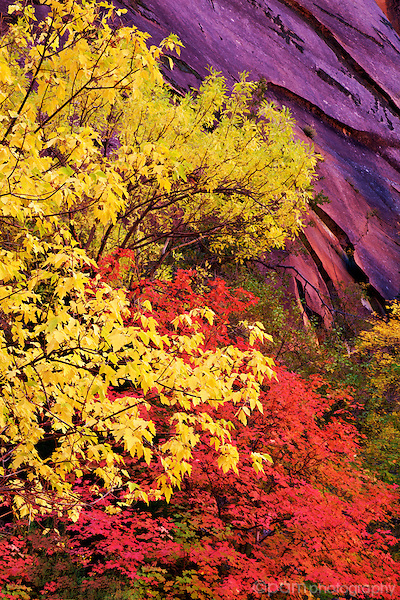 The colors of fall in Utah's desert canyons.