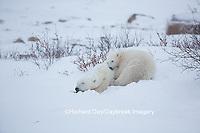 01874-13508 Polar Bear (Ursus maritimus) female with cub, Churchill Wildlife Management Area, Churchill, MB