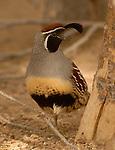 gambel's quail, Salton Sea