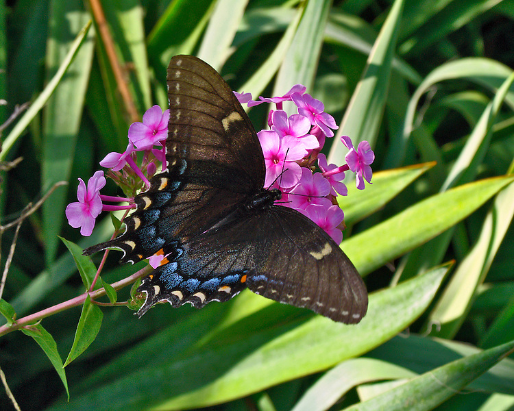 A lovely dorsal view of a female Back Swallowtail sipping from a pink Hydrangea.