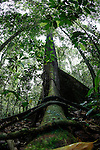 A buttress tree near the Borneo Rainforest Lodge on Monday April 29th 2013 in Malaysia. (Photo by Brian Garfinkel)