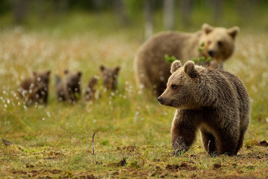Brown Bear (Ursos arctos), looking for food, Finland, July 2012