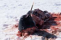 Narwhal carcass 4 (Indigenous hunting), Monodon monoceros, Baffin Island, Canada, Arctic Ocean