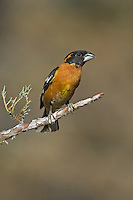 538660021 a wild male black-headed grosbeak pheucticus melanocephalus perches on a pine bough in madera canyon green valley arizona united states