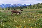 Woodland caribou, Jasper National Park, Canada