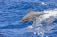 spinner dolphin, Stenella longirostris, juvenile, leaping out of boat wake, Kona Coast, Big Island, Hawaii, USA, Pacific Ocean