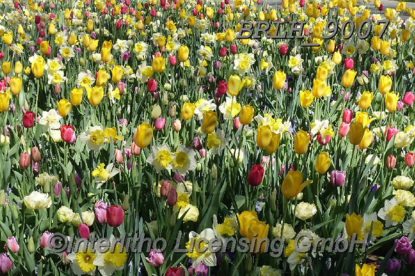 Luiz, FLOWERS, BLUMEN, FLORES, photos+++++,BRLH9007,#f#, EVERYDAY ,tulips ,allover