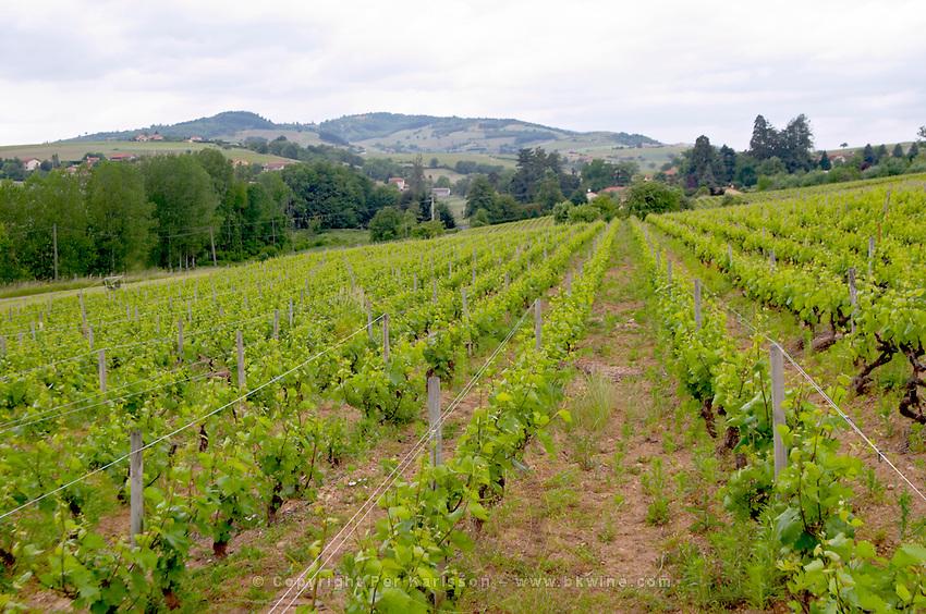 gamay vineyard domaine du vissoux beaujolais burgundy france