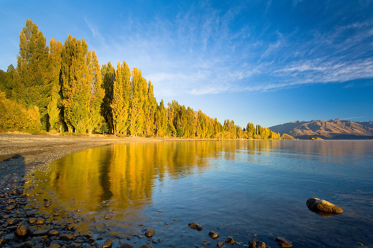 Yellow poplars reflected in Lakes Wanaka at sunrise, South Island, New Zealand - stock photo, canvas, fine art print