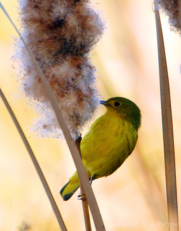 Male yellow warbler on cattail