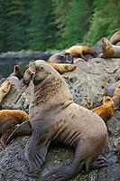 Northern or steller's sea lion bull (Eumetopias jubatus) guarding territory and harem.  Pacific Northwest coast.