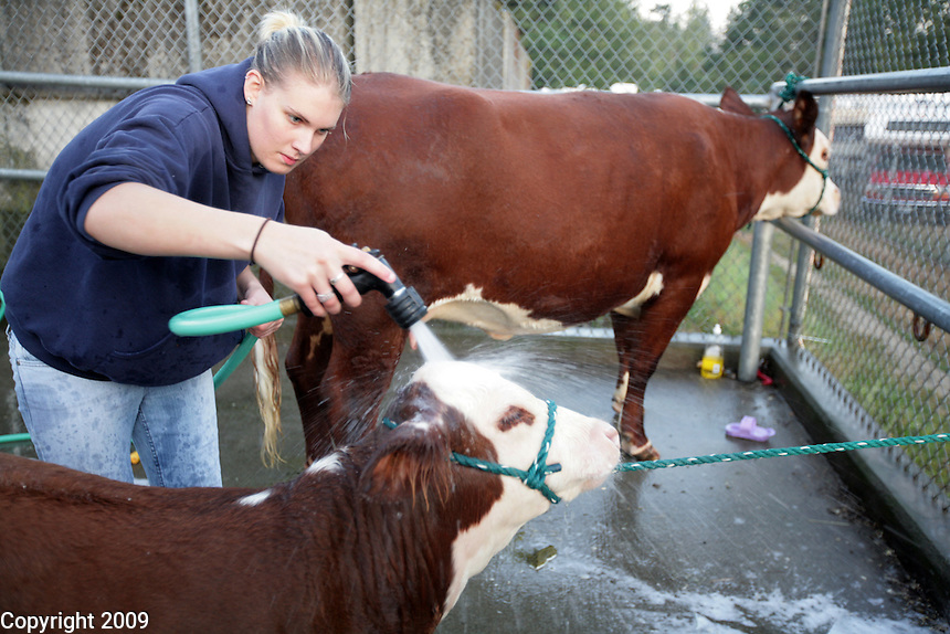 Mandy Vossbeck, 20, of Lynden, washes Buckles and Boots, a herford,  at 6am at the NW Washington Fair on August 18, 2009. At 20 she has aged out of the programs but still helps out.