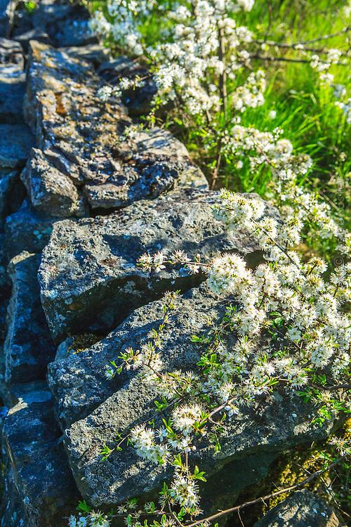 Vita blommor vid stenmur Utö i Stockholms skärgård