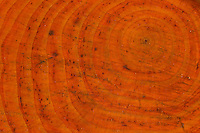 Schwarz-Erle, Schnittstelle, Sägeschnitt, Holz ist rötlich gefärbt, daher auch der Name Roterle, Jahresringe, Schwarzerle, Erle, Alnus glutinosa, Common Alder, wood, saw-cut, annual rings, tree rings, Aulne glutineux
