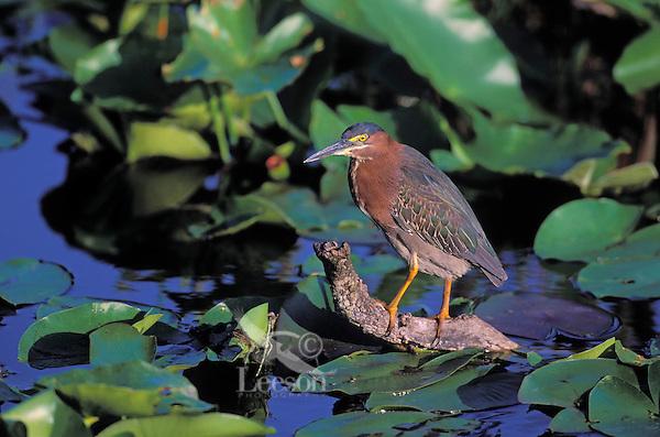 Green Heron. Everglades National Park, Florida. U.S.A. (Butorides striatus).