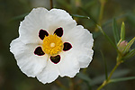 Gum Rockrose, Cistus ladanifer, Castro Verde, Algarve, Portugal, The whole plant is covered with the sticky exudate of fragrant resin, the source of labdanum, used in herbal medicine and perfumery