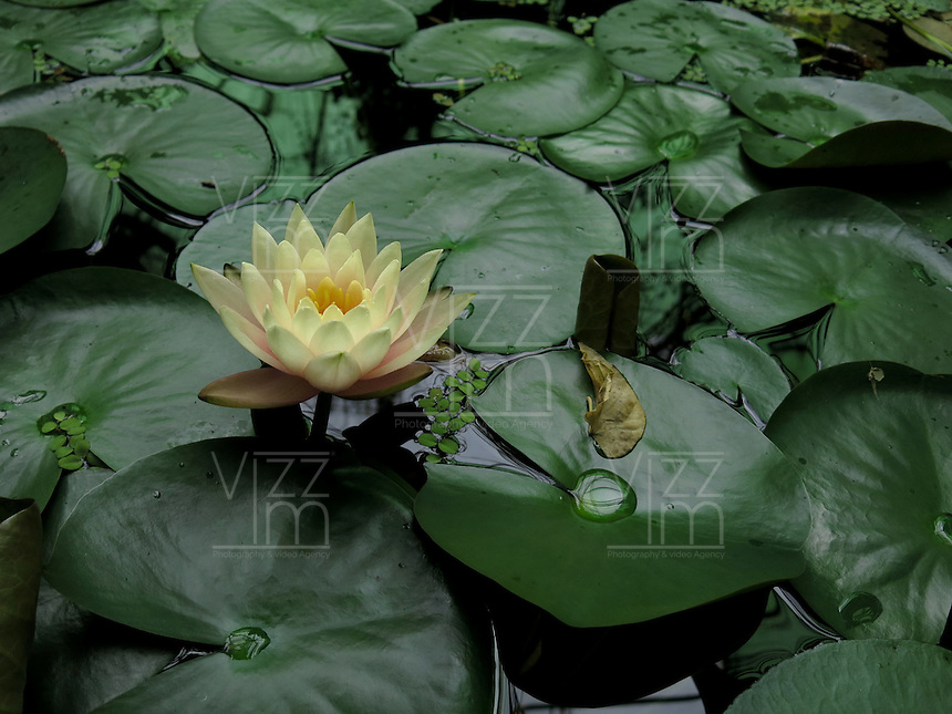 BOGOTÁ-COLOMBIA-15-01-2013. Flor de loto amarilla y Victoria amazonica. Flower lotus yellow and Victoria amazonica. (Photo:VizzorImage)