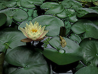 BOGOTÁ-COLOMBIA-15-01-2013. Flor de loto amarilla y Victoria amazonica. Flower lotus yellow and Victoria amazonica. (Photo:VizzorImage)