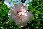 Rose-of- Sharon the hardy species is the deciduous H.syriacus;its flowers in white ,blue,mauve,or pink.