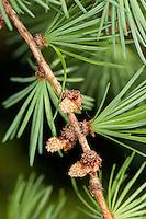 Europäische Lärche, Larix decidua, frische Nadeln im Frühjahr und männliche Blüten, Blüte, European Larch
