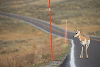 A young pronghorn seems uncertain about crossing the road.
