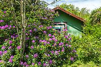 France, Manche (50), Saint-Germain-des-Vaux, Jardin en Hommage à Jacques Prévert, maison d'habitation et rhododendron pontique