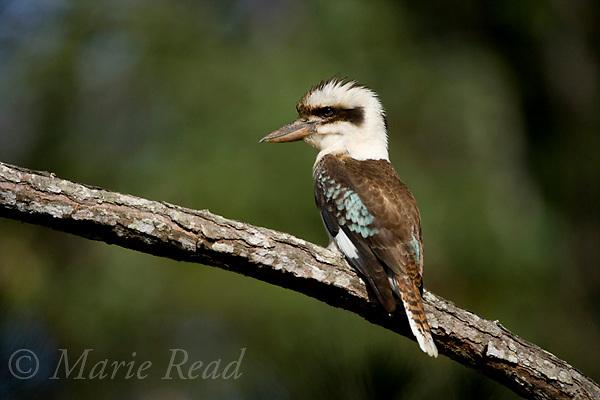 Laughing Kookaburra (Dacelo novaeguineae), Julatten, Queensland, Australia